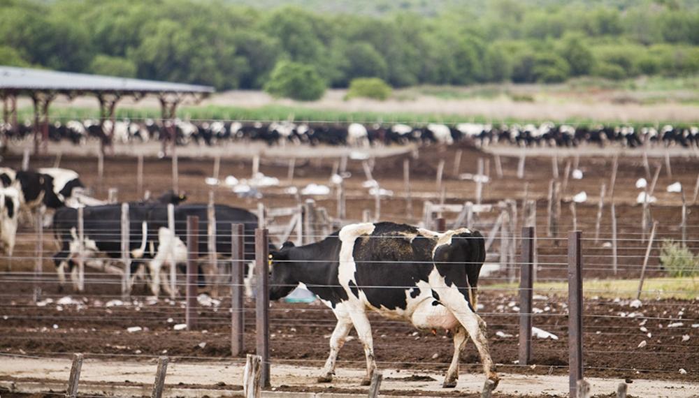 tambo vacas lacte